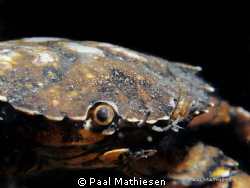 Carcinus maen. G11 with wet lens, ISO 400, F 8, 1/250 by Paal Mathiesen 